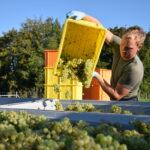 Manuel Herzog bei der Weinlese
